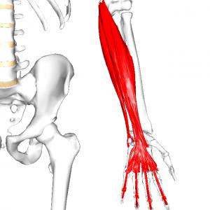 前腕尺側屈筋群 L001