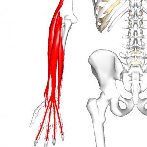 前腕橈側伸筋群 L001
