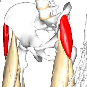 大腿筋膜張筋 L1