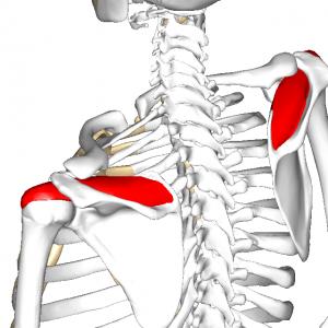 棘下筋 L2