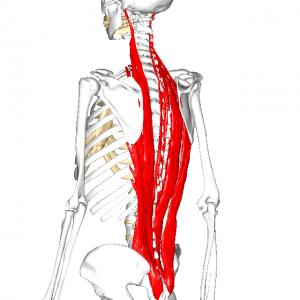 脊柱起立筋群 L2