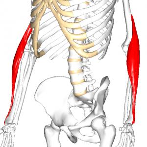 腕橈骨筋 L2