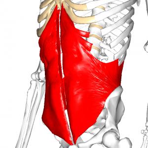 内腹斜筋 L1