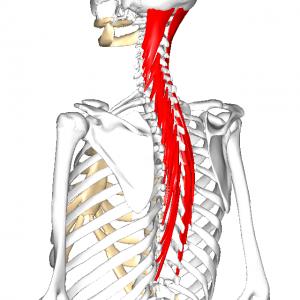 半棘筋 L2