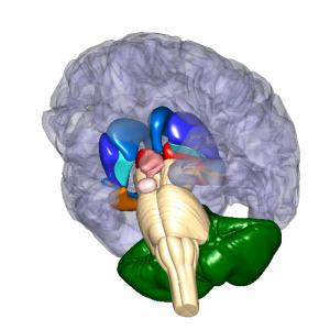 大脳基底核 L4