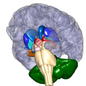 大脳基底核 L6