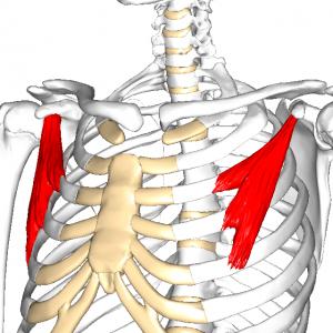小胸筋 L1