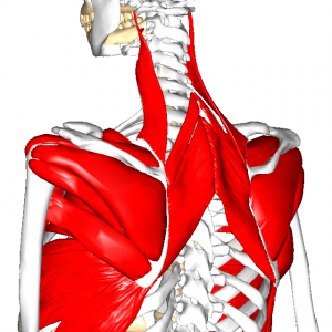 肩甲帯筋群 L2