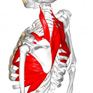 肩甲骨と胸郭の筋 L