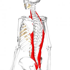 腸肋筋 L2