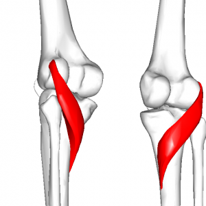 膝窩筋 L1
