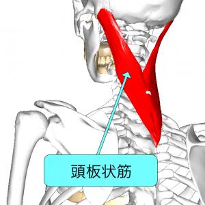 頭板状筋 L1解説付