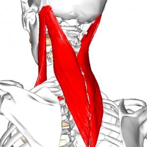 頸部のアウターマッスル群 L1