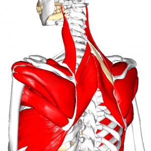 肩甲帯筋群 L