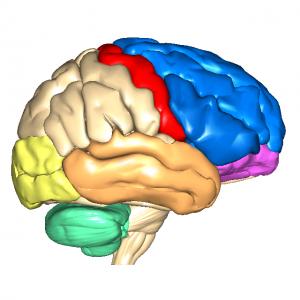 大脳皮質L1