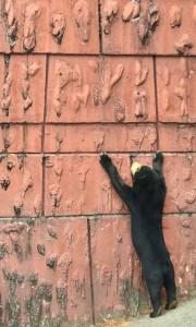 壁とマレー熊