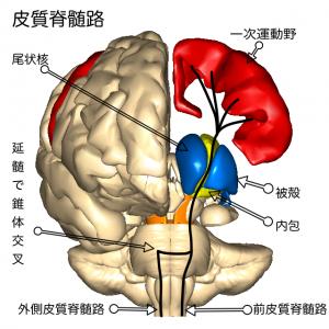 皮質脊髄路2
