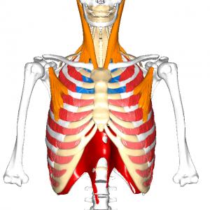 呼吸筋群L1