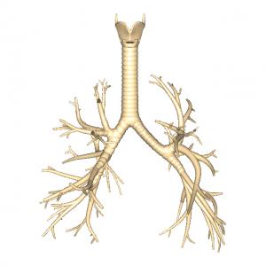 気管支L1