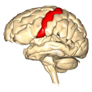 神経回路の理解 一次運動野の役...