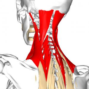 頸部コアマッスル群 L1