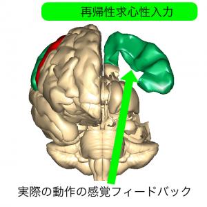 一次体性感覚野と再帰性入力1